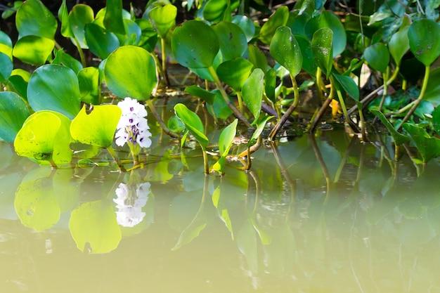 Panorama z pantanal, brazylijskiego regionu podmokłego. lilie wodne z bliska. przyroda i plener