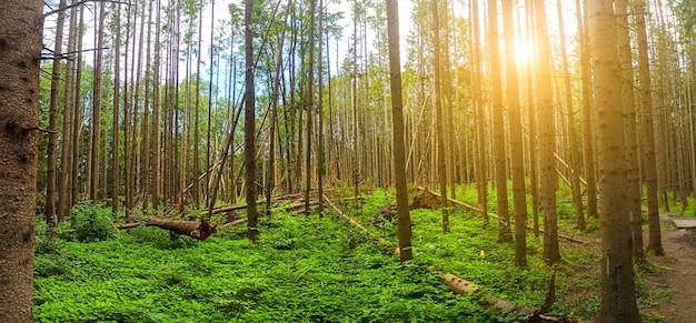 Panorama zwalonego lasu. klęska żywiołowa. konsekwencja silnego wiatru.