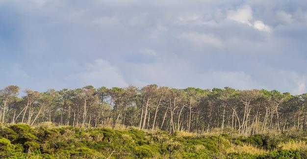 Panoramiczne ujęcie drzew w lesie pod zachmurzonym niebem