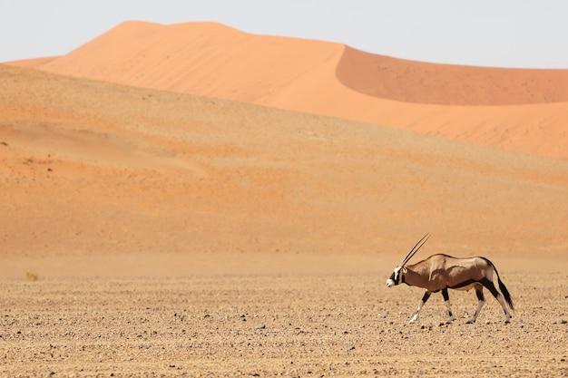 Panoramiczne ujęcie przedstawiające gemsbok idącego przez pustynię z wydmami w tle