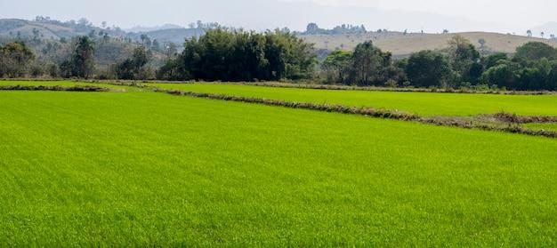 Panoramiczny obraz niełuskanego ryżu