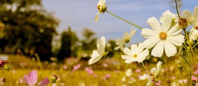 Panoramiczny selektywny fokus białego kwiatu kosmosu ogrodowego
