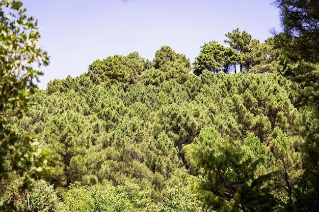 Panoramiczny widok las zielone sosny na stronie góra