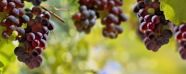 Panoramiczny widok na czarne winogrona rosnące w oświetleniu winnicy przez słońce