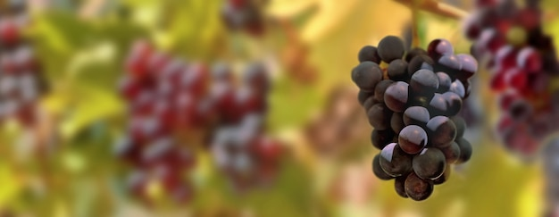 Panoramiczny widok na czarne winogrona rosnące w winnicy