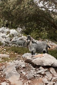 Panoramiczny widok na dzikie kozy w przyrodzie