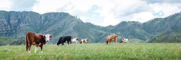 Panoramiczny widok na naturalne pastwisko krów na zielonych łąkach w górach