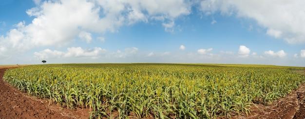 Panoramiczny widok na plantację sorgo w słoneczny dzień w brazylii.