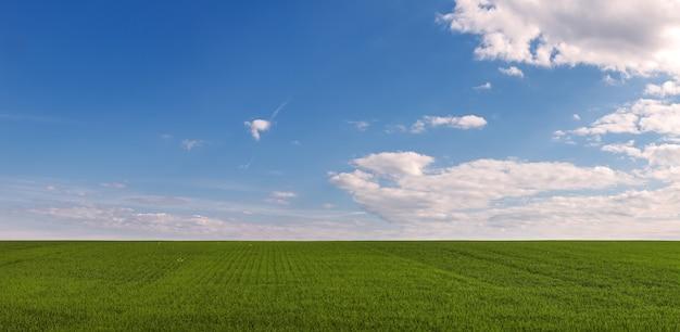 Panoramiczny widok na pole ze świeżymi kiełkami zbóż