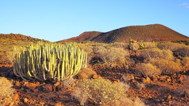 Panoramiczny widok na pustynię z kaktusami o zachodzie słońca na teneryfie, wyspy kanaryjskie.
