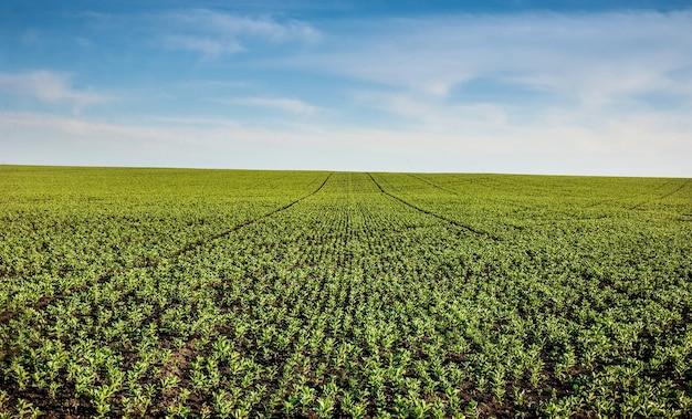 Panoramiczny widok rolnictwa plantacji vicia faba, bobu fasoli, zbliżenie