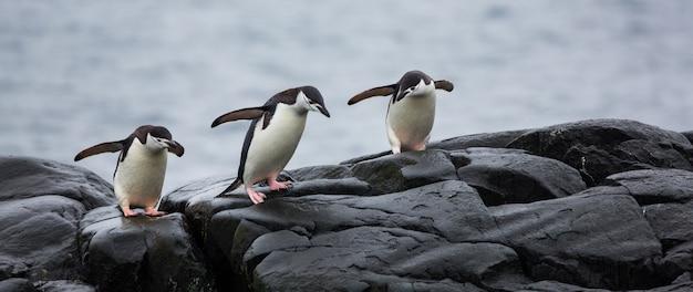 Panoramiczny widok trzech pingwinów na kamieniach na antarktydzie