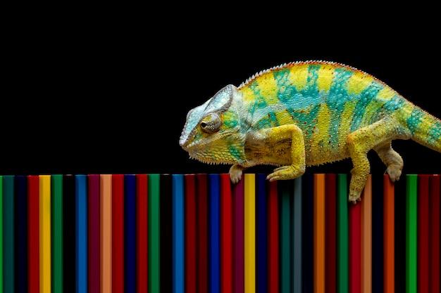 Pantera kameleon próbuje zakamuflować się na kredkach