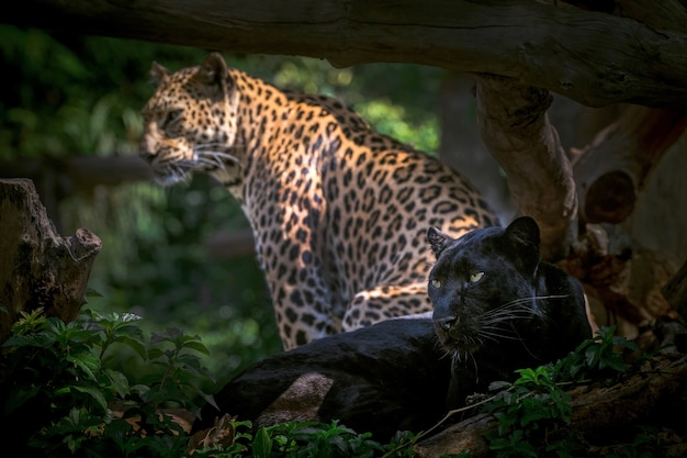 Pantera lub lampart odpoczywają w naturalnej atmosferze