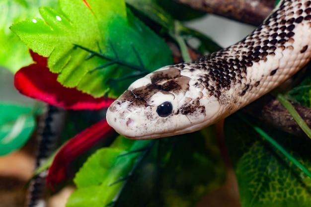Pantherophis obsoleta lub rat snake