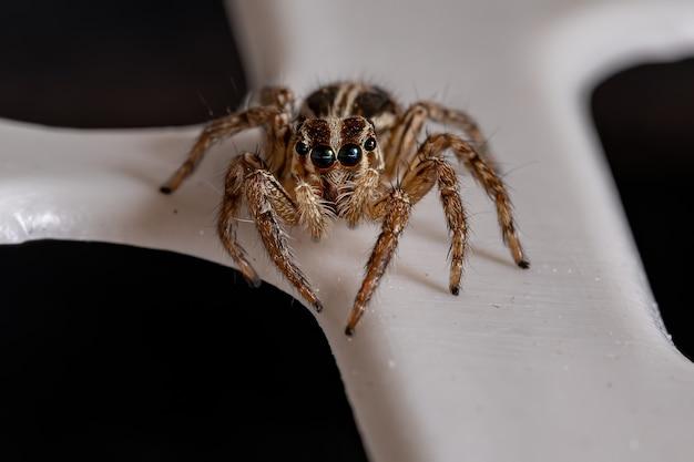 Pantropiczny skaczący pająk z gatunku plexippus paykulli