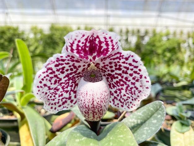 Paphiopedilum bellatulum kwiat orchidei