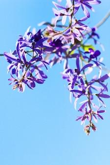 Papier ścierny winorośli lub queens wianek, fioletowy wieniec kwiaty z błękitem nieba