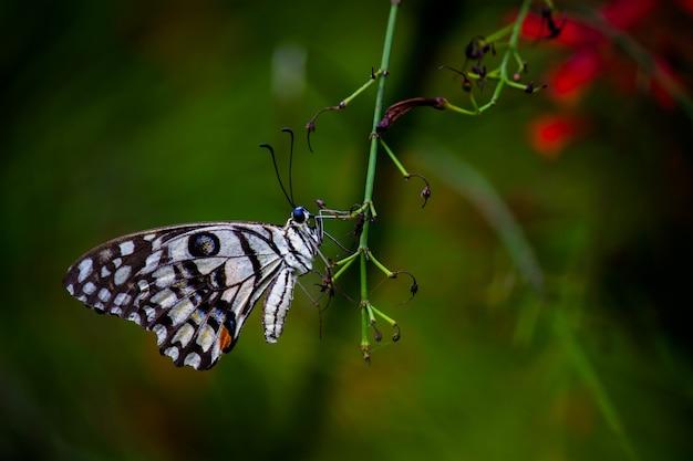 Papilio demoleus jest pospolitym motylem lipowym i szeroko rozpowszechnionym paziom lub znanym jako motyl cytrynowy