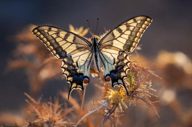 Papilio machaon. motyl w swoim naturalnym środowisku.