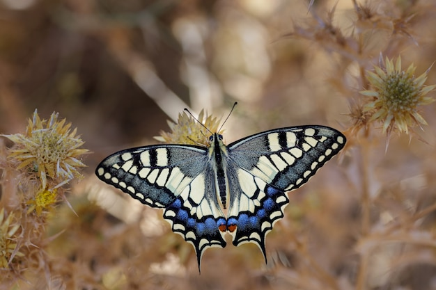 Papilio machaon z żywymi kolorami