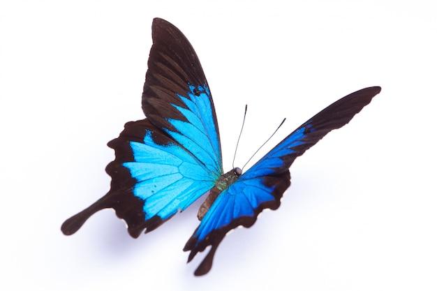 Papilio ulysses błękitny motyl na białym tle
