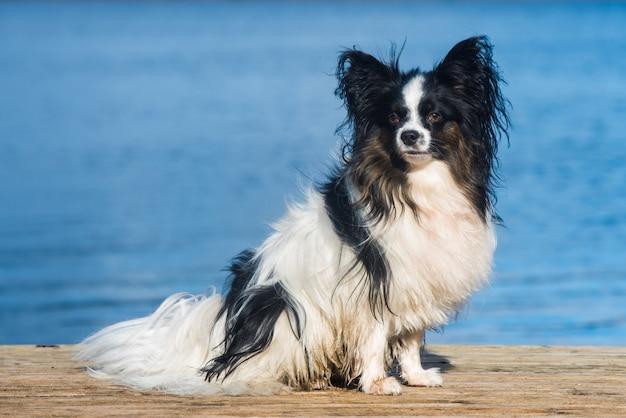 Papillon pies biały i pręgowany płaszcz nad morzem