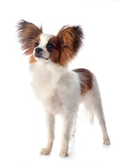 Papillon pies na bielu odizolowywającym