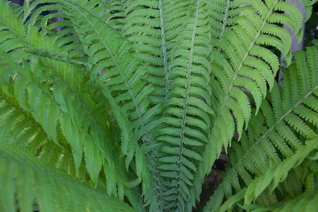 Paproć tło, zielone tropikalne liście, widok z góry