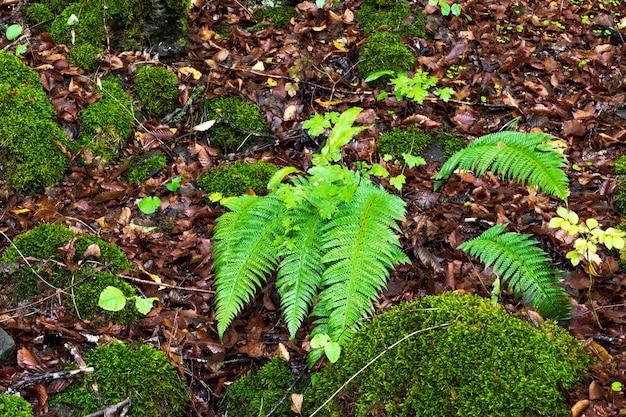 Paproć w wilgotnym lesie