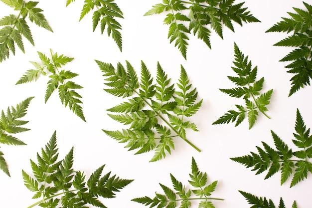 Paproć zielone liście wzór na białym tle