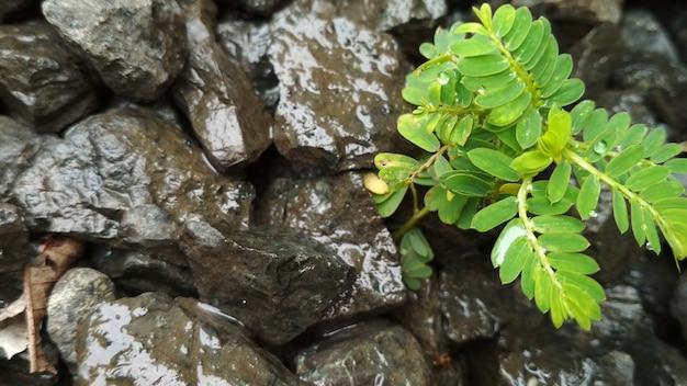 Paprocie roślina na kamiennym tle dla natury tapety