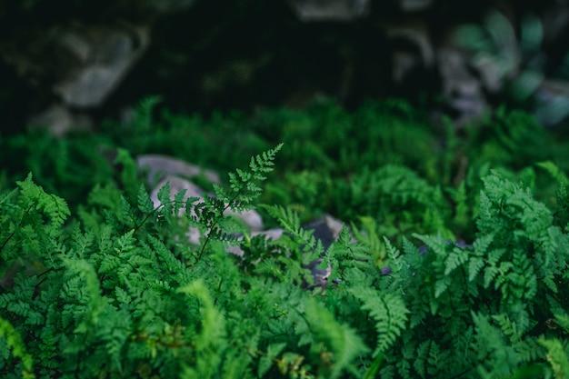 Paprocie rosnące pod strumieniem lawy