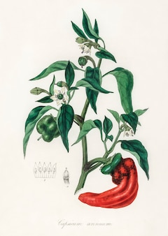 Papryka słodka i chili (capsicum annuum) ilustracja z botaniki medycznej