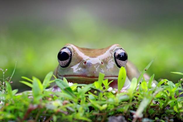 Papua zielona żaba