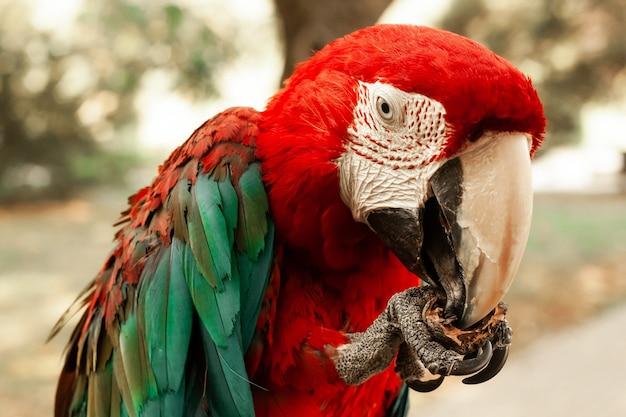 Papuga ara jedząca orzech