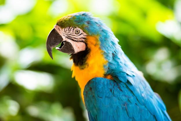 Papuga ara, zbliżenie na zielonym tle.