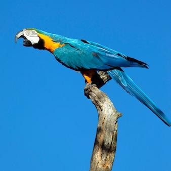 Papuga blu na błękitnym niebie