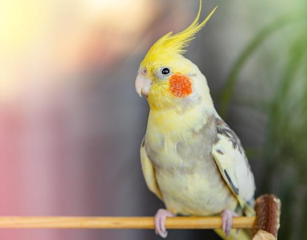 Papuga corella siedząca na gałęzi. skopiuj miejsce, zamknij się.