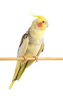 Papuga corella siedzi na drewnianym kiju na białym tle. selektywna ostrość, z bliska