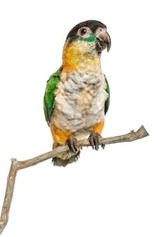 Papuga czarnogłowa siedząca na gałęzi, na białym tle