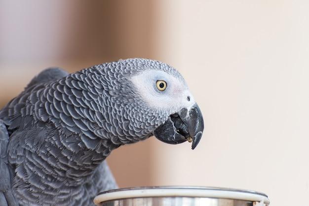 Papuga domowa