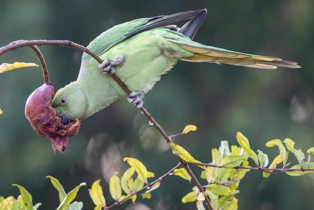 Papuga dziobiąc kwiat