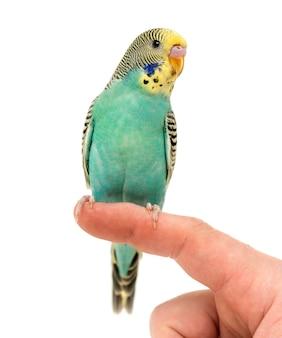 Papuga falista papużka falista siedzący na palcu na białym tle