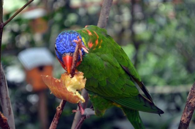 Papuga jedząca jabłko papuga karmiąca papugę jedzenie papugi papuga jedząca owoce