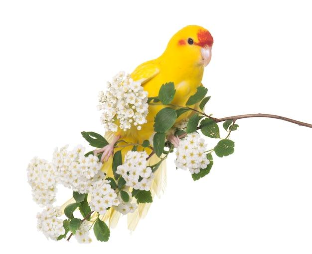 Papuga kakariki z czerwonymi frontami