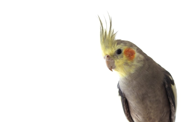 Papuga nimfa na białym tle na białym tle z bliska