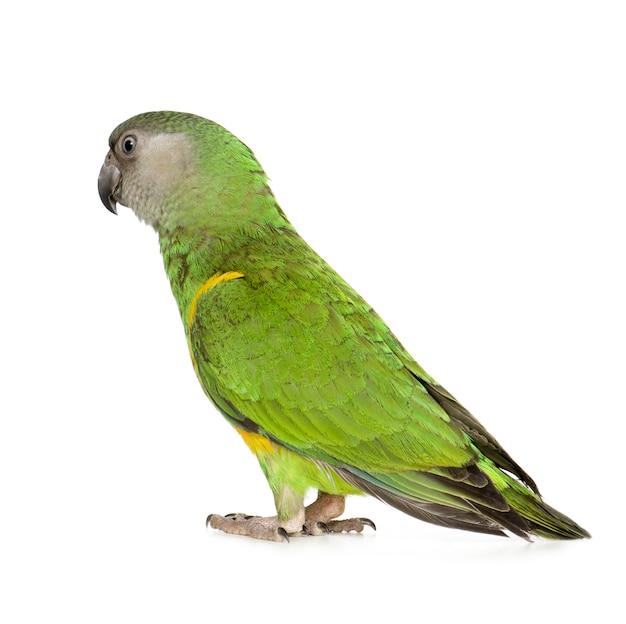 Papuga senegalska - poicephalus senegalus na białym tle