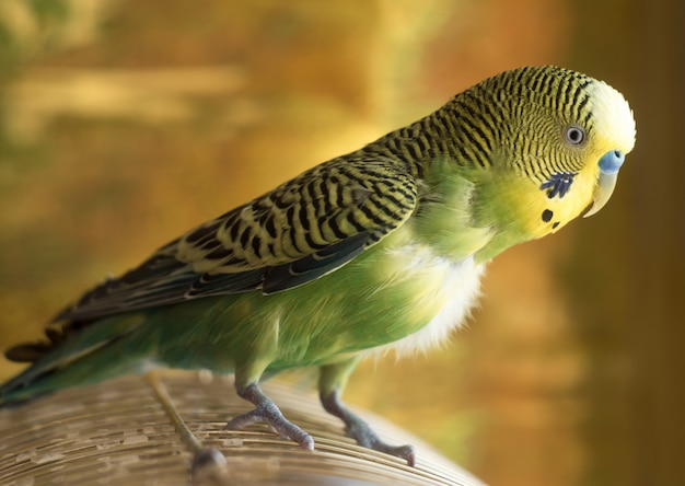 Papuga siedzi na klatce. zielony papugi nierozłączki z bliska siedzi