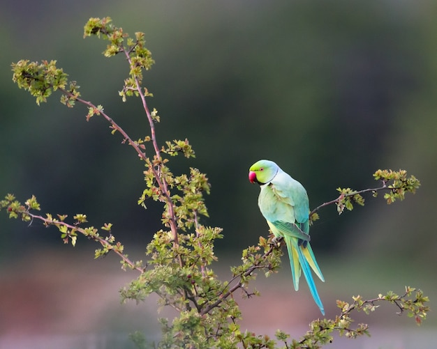 Papuga szyjna